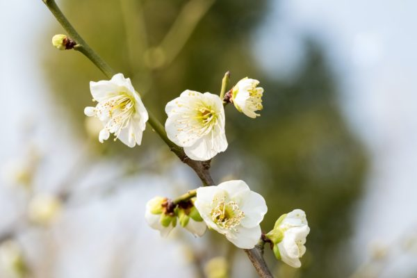 white plum blossom blooming